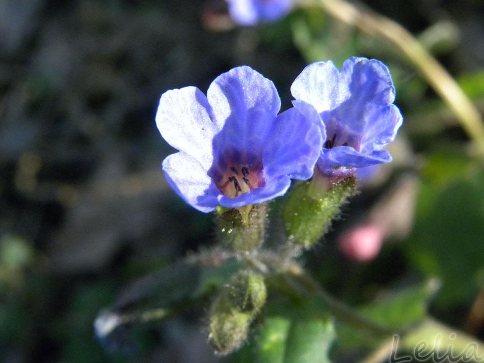 Kleine blaue Schönheit