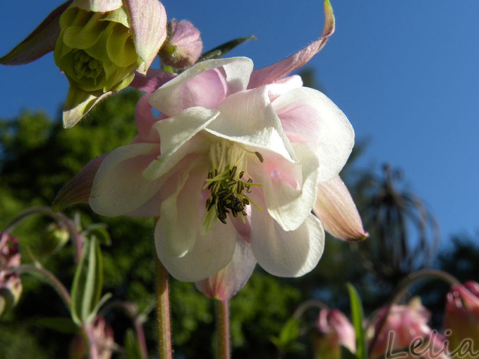 Akeleienblüte