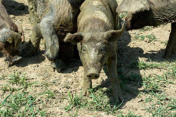 Bio Weideschwein vom Handlhof – Allerheiligen
