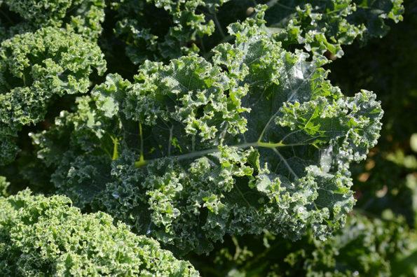Grünkohl – altes Gemüse, neues Superfood!